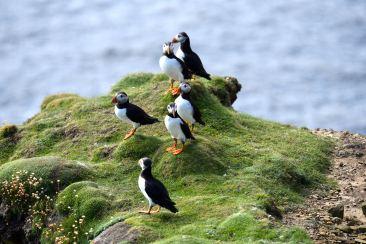 Puffins eller Lunnefåglar som dom heter på svenska