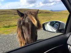 Nyfiken Shetlandsponny