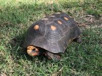Landsköldpadda, Mustique