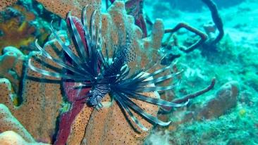 En giftig lionfish