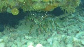 En lobster