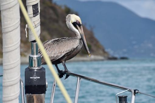 Pelikan på besök