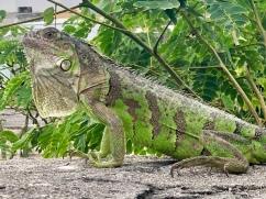 Iguan