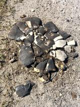 Överkörd sköldpadda