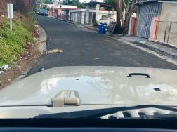 En Iguan framför bilen