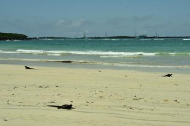 Vatteniguaner på stranden