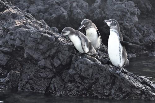 Pingviner redo för ett dopp