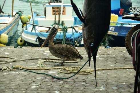 Black Marlin och Pelikan