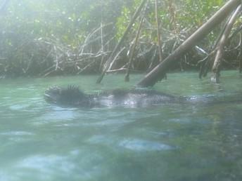Vi snorklade med iguaner