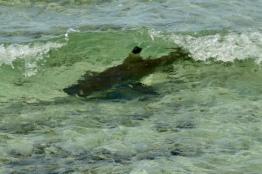 Blacktip reefshark